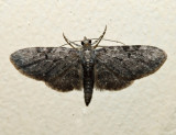7537.1 - Eupithecia sharronata (male)