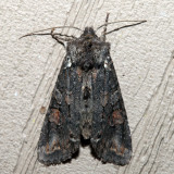 9922 - Plush-naped Pinion - Lithophane pexata