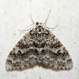 7637 - Mottled Gray Carpet - Cladara limitaria