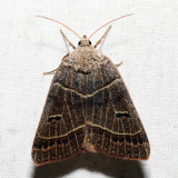 8591 - Common Oak Moth - Phoberia atomaris