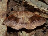 6836 - American Barred Umber - Plagodis pulveraria