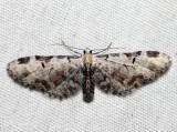 7605 - Tawny Pug - Eupithecia ravocostaliata (male)