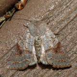 10490 - Subdued Quaker - Orthosia revicta