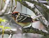 Bay-breaster Warbler - Setophaga castanea