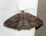 6620 - Canadian Melanolophia - Melanolophia canadaria (male)