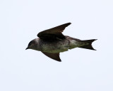 Purple Martin - Progne subis (female)
