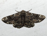 6763 - Oak Beauty - Phaeoura quernaria