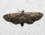 7449 - Small Pine Looper - Eupithecia palpata (female)