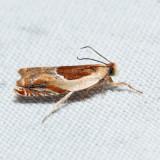 3366 – Ancylis laciniana