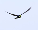 Purple Martin - Progne subis (carrying nesting material)