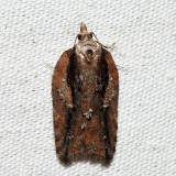 3542 – Multiform Leafroller – Acleris flavivittana