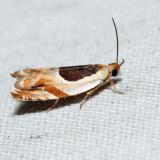 3367 – Oak Leaffolder – Ancylis burgessiana