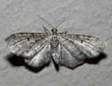 7520 - Eupithecia satyrata (male)