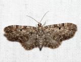 7520 - Eupithecia satyrata (female)