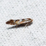 0740 – Spotted Tentiform Leafminer – Phyllonorycter blancardella