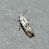 0577 – Bucculatrix pomifoliella
