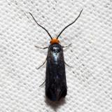 0181 - Maple Leafcutter - Paraclemensia acerifoliella