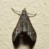 7449 - Small Pine Looper - Eupithecia palpata