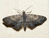 7459 - Eupithecia columbiata (male)