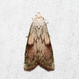 5629 - Bee Moth - Aphomia sociella (male)