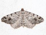 6347 – White Pine Angle – Macaria pinistrobata