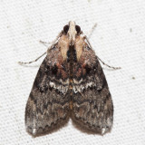 5608 – Striped Oak Webworm Moth – Pococera expandens