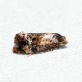 3837 – Kearfott's Rolandylis Moth – Rolandylis maiana