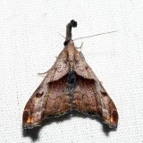 8397 – Dark-spotted Palthis – Palthis angulalis