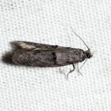 2415.1 - Wockia asperipunctella