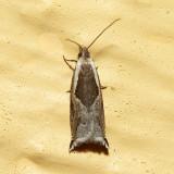 3355 – Ancylis subaequana