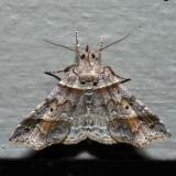 8338 - Dark-banded Owlet - Phalaenophana pyramusalis
