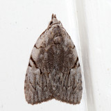 9662 – Many-dotted Appleworm Moth – Balsa malana