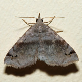 8479 - Six-spotted Gray Moth - Spargaloma sexpunctata