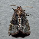 9618 – Turbulent Phosphila – Phosphila turbulenta