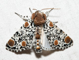 9286 - Harris's Three-spot - Harrisimemna trisignata
