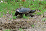 Common Snapping Turtle - Chelydra serpentina (leaving nest site)
