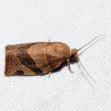 3593 – Woodgrain Leafroller – Pandemis lamprosana