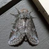 7994 – Saddled Prominent Moth – Heterocampa guttivitta