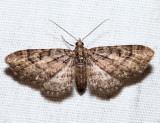 7449 - Small Pine Looper - Eupithecia palpata (female)