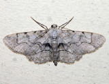 6582 - Large Purplish Gray - Iridopsis vellivolata