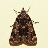 5517 – Stored Grain Moth – Aglossa caprealis