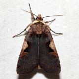10942.1 - Greater Black-letter Dart - Xestia dolosa