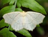 6885 - Oak Besma - Besma quercivoraria (pale female)