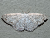 7139 - Sweetfern Geometer - Cyclophora pendulinaria