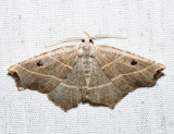 6819 - Pale Metanema - Metanema inatomaria