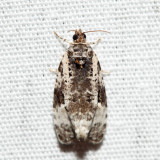 2763 – Apotomis albeolana