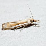 5378 – Eastern Grass-veneer – Crambus laqueatellus