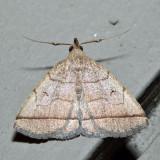 8351 – Early Zanclognatha – Zanclognatha cruralis