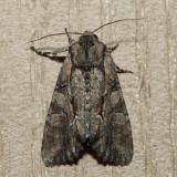 10299 - Speckled Cutworm - Lacanobia subjuncta
