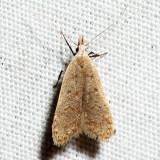 2283 – Spotted Dichomeris – Dichomeris punctidiscella